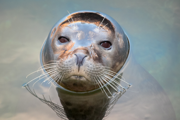 Harbor seal portrait.