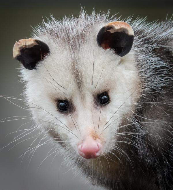 Opossum portrait