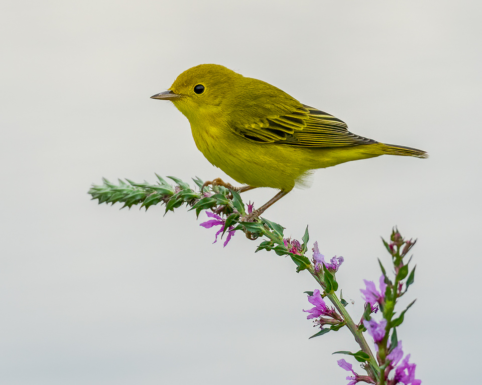 A yellow warbler on purple loosestrife.