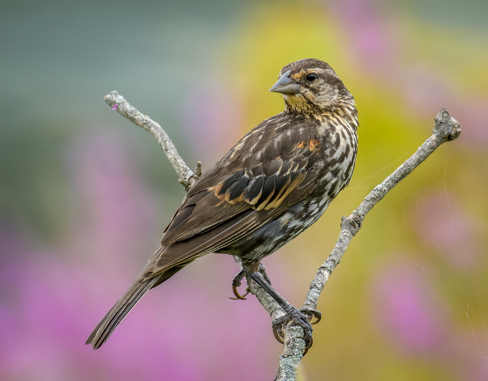 A red-winged blackbird growing from fledgling to j