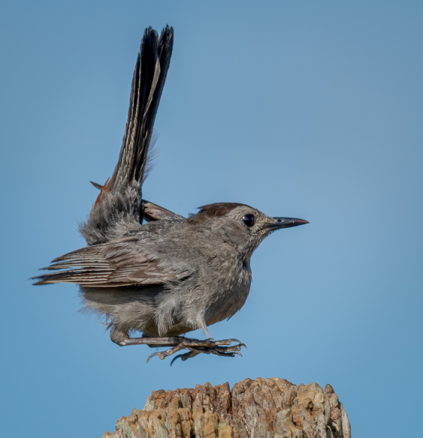 A gray catbird moves to a different position.