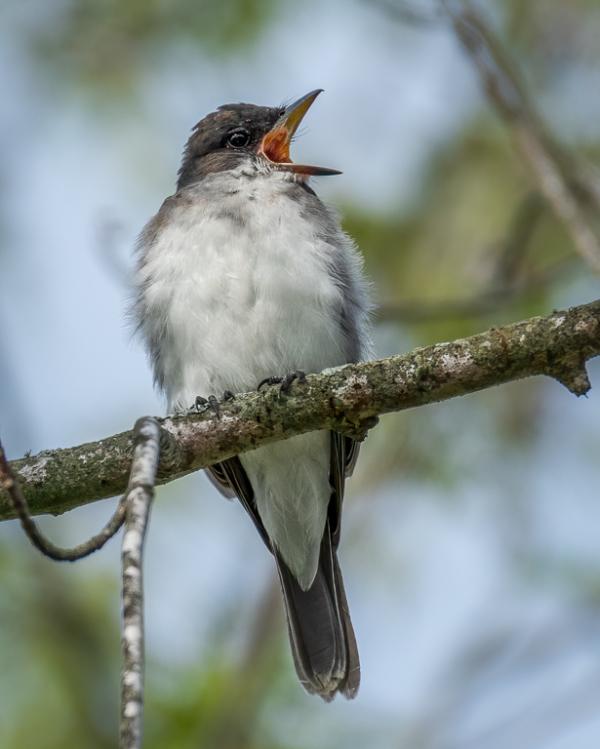 An eastern kingbird with an open bill.
