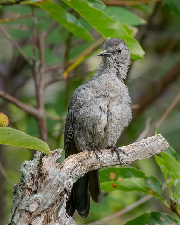 A gray catbirds' unusual pose.