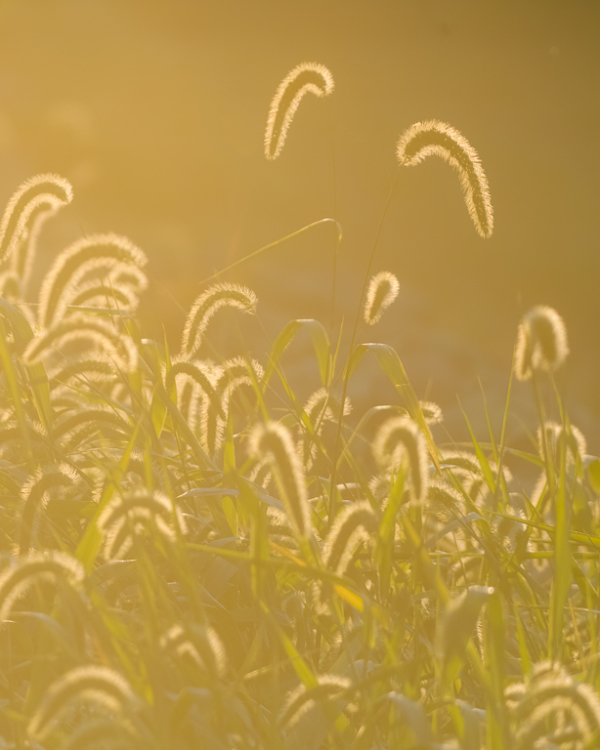 Grass heads in the morning light.