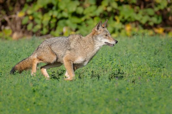 A coyote runs across a field.