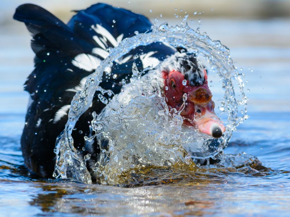 A Muscovy duck splashing.