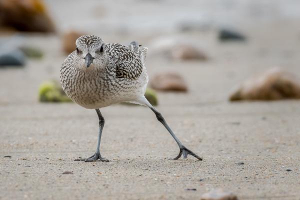 Plover Shuffle Dance