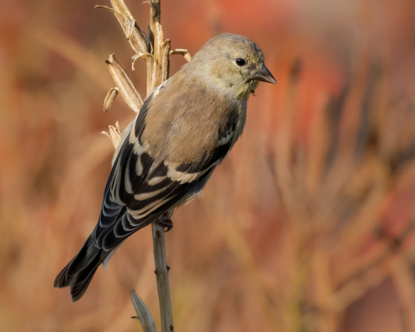 Goldfinch On Primrose