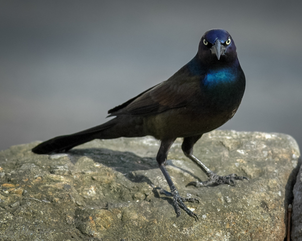 Irked Grackle