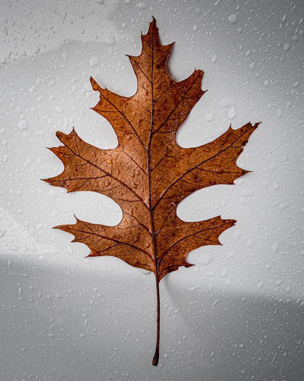 Brown Oak Leaf