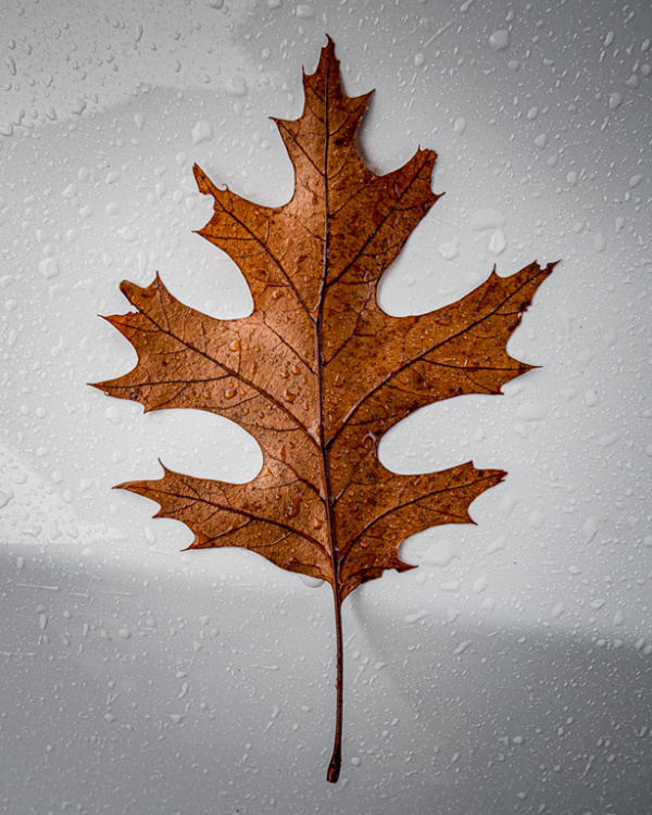 Brown Oak Leaf