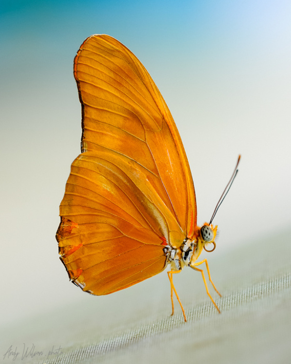 Dryas iulia Butterfly