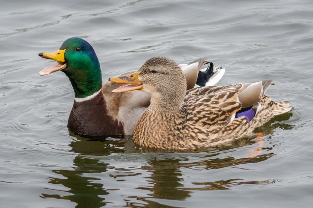 Mallard Drake And Hen
