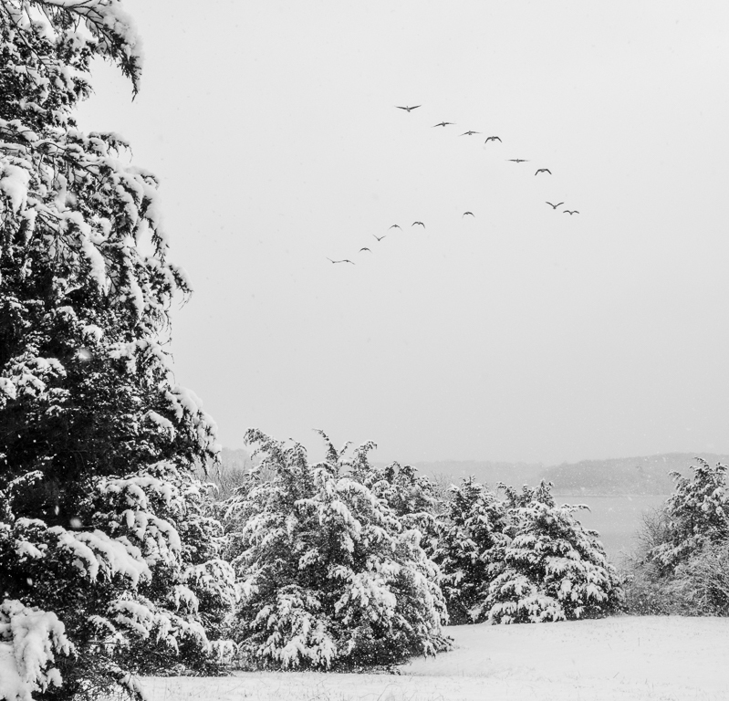 Geese Flyby