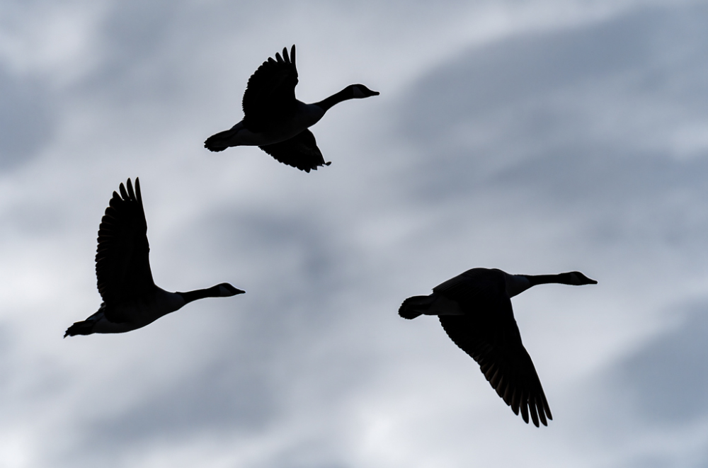 Canada Geese Silhouetted