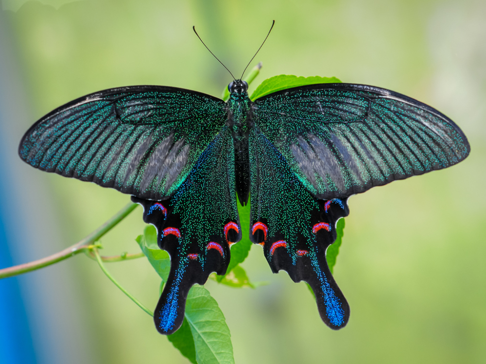 Chinese Peacock Butterfly