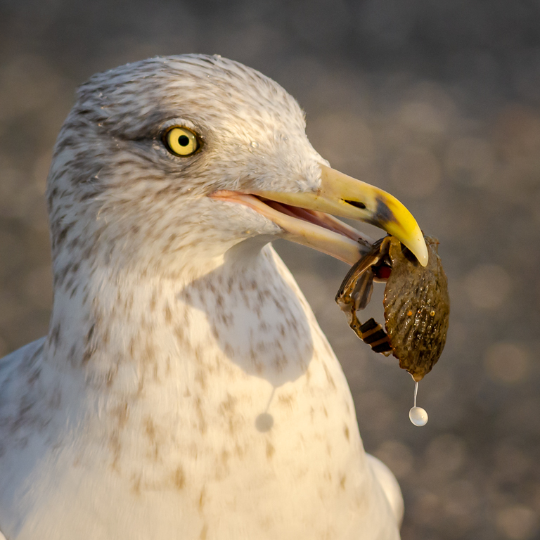 Gull Eating
