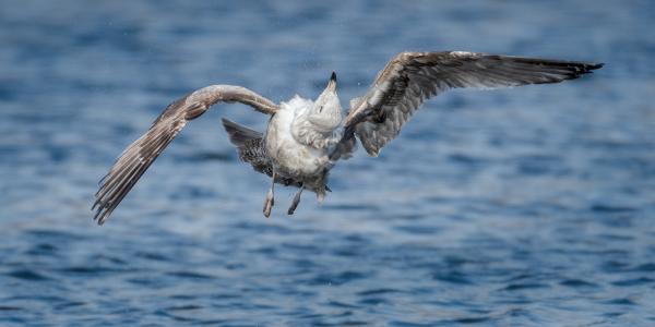Twisted Gull