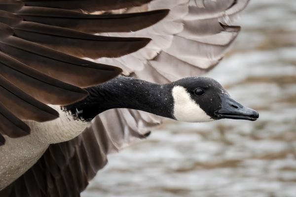 Canada Goose Close Landing