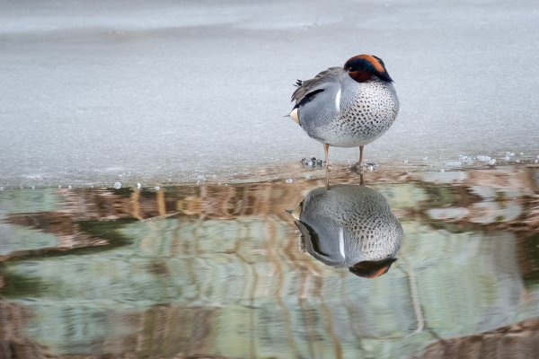 Green-winged-Teal resting on the edge of ice.