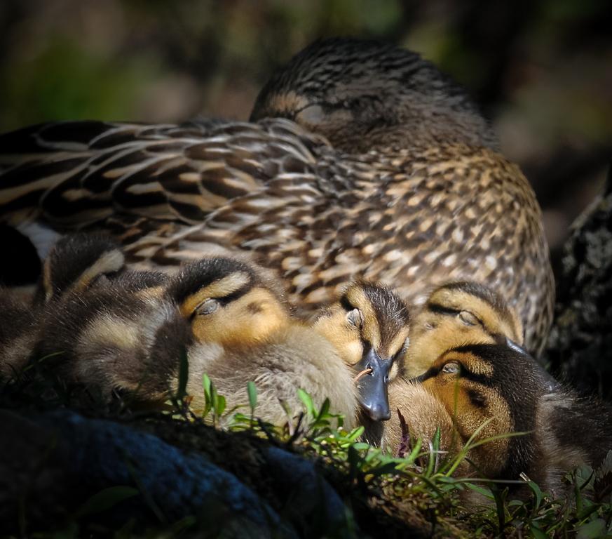 Mallard hen and her sleeping ducklings.