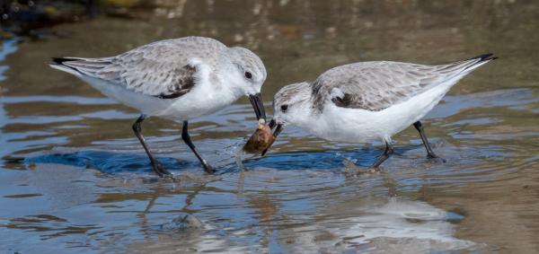 Sanderlings Fight Over A Snail