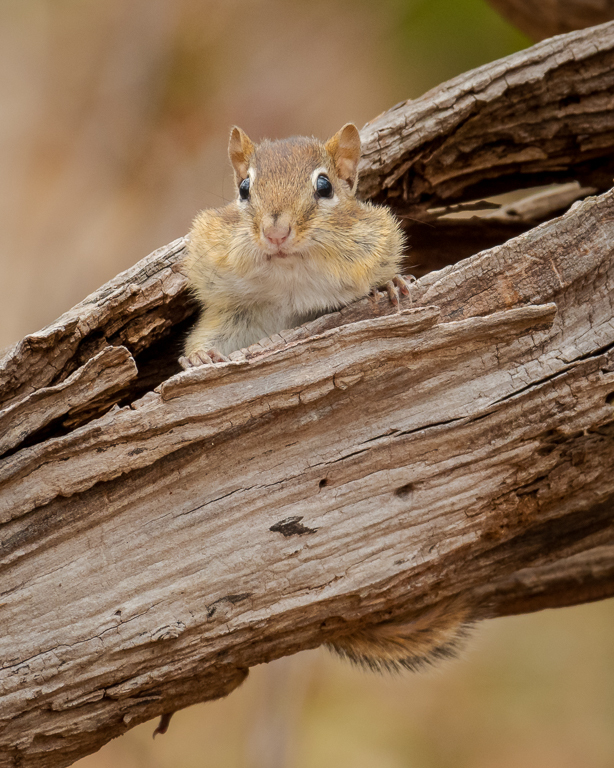Chipmunk with full cheeks looking out a log.