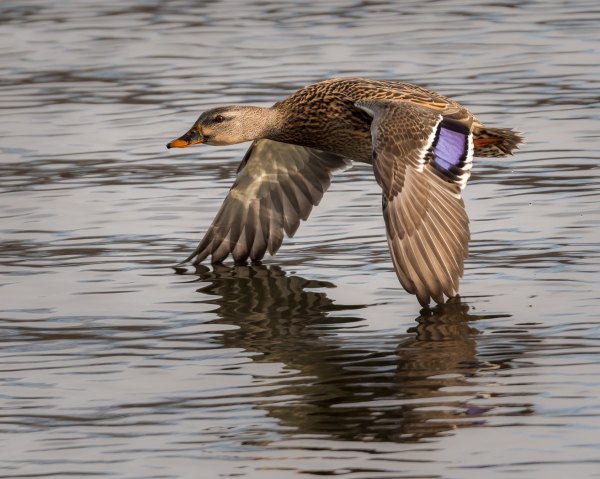 Mallard hen flying.