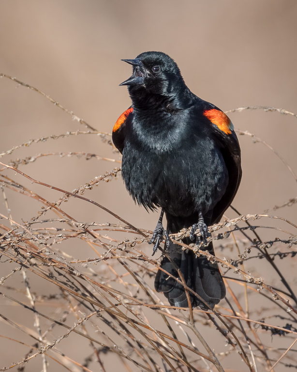 Red-winged blackbird calling.
