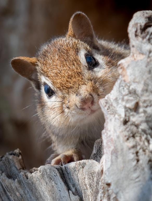 Chipmunk in a ho9llow tree.