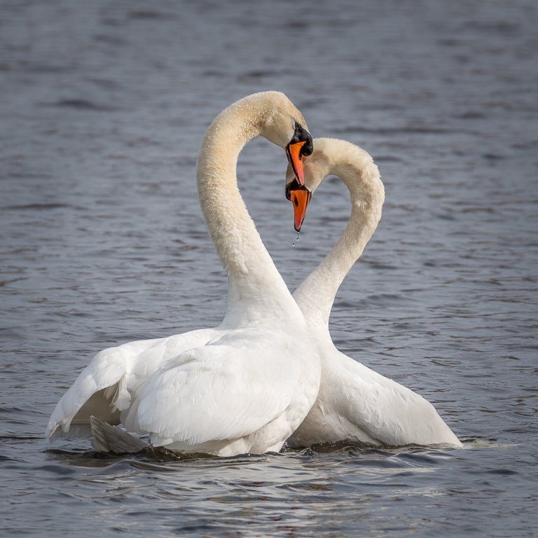 Mute swans in a mating ritual.