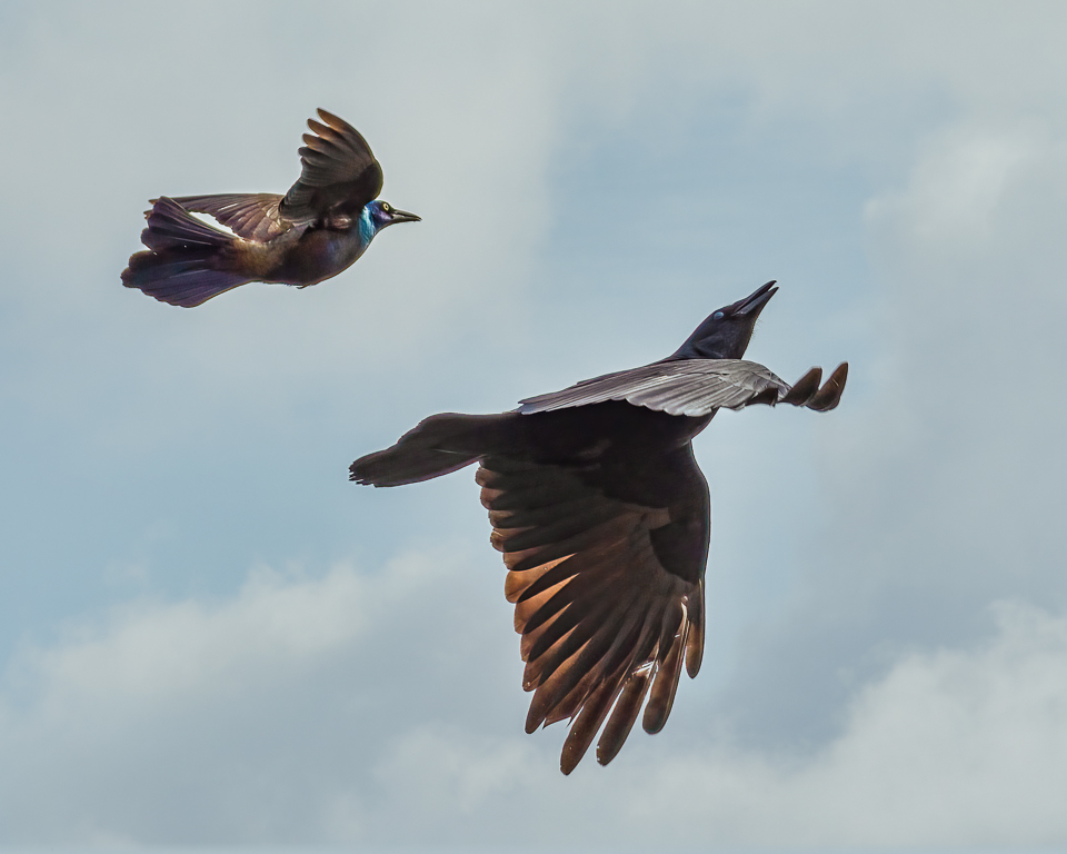 Grackle and Crow