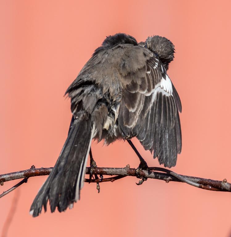 Northern mockingbird preening.