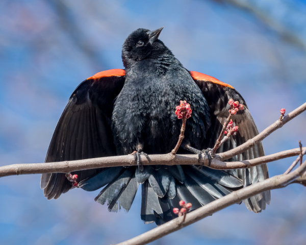Red-winged blackbird in mating ritual.