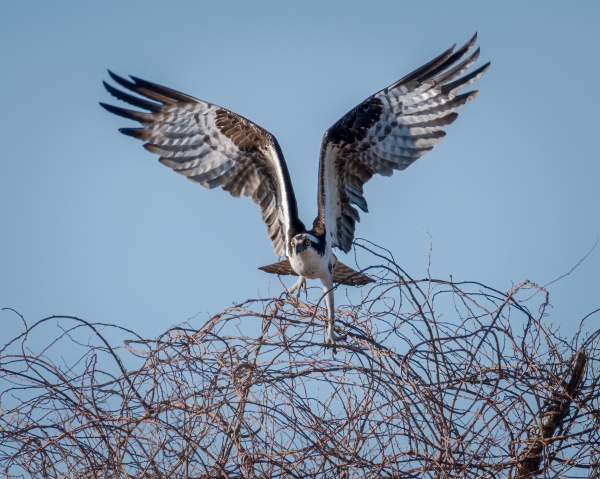 Osprey Aborted Landing