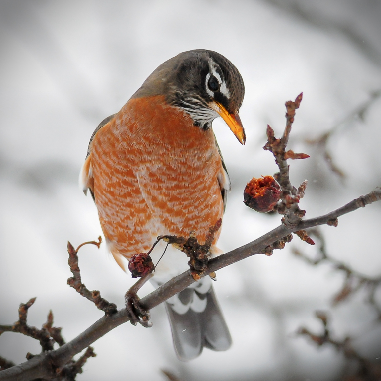 American Robin Looking At A Fruit.