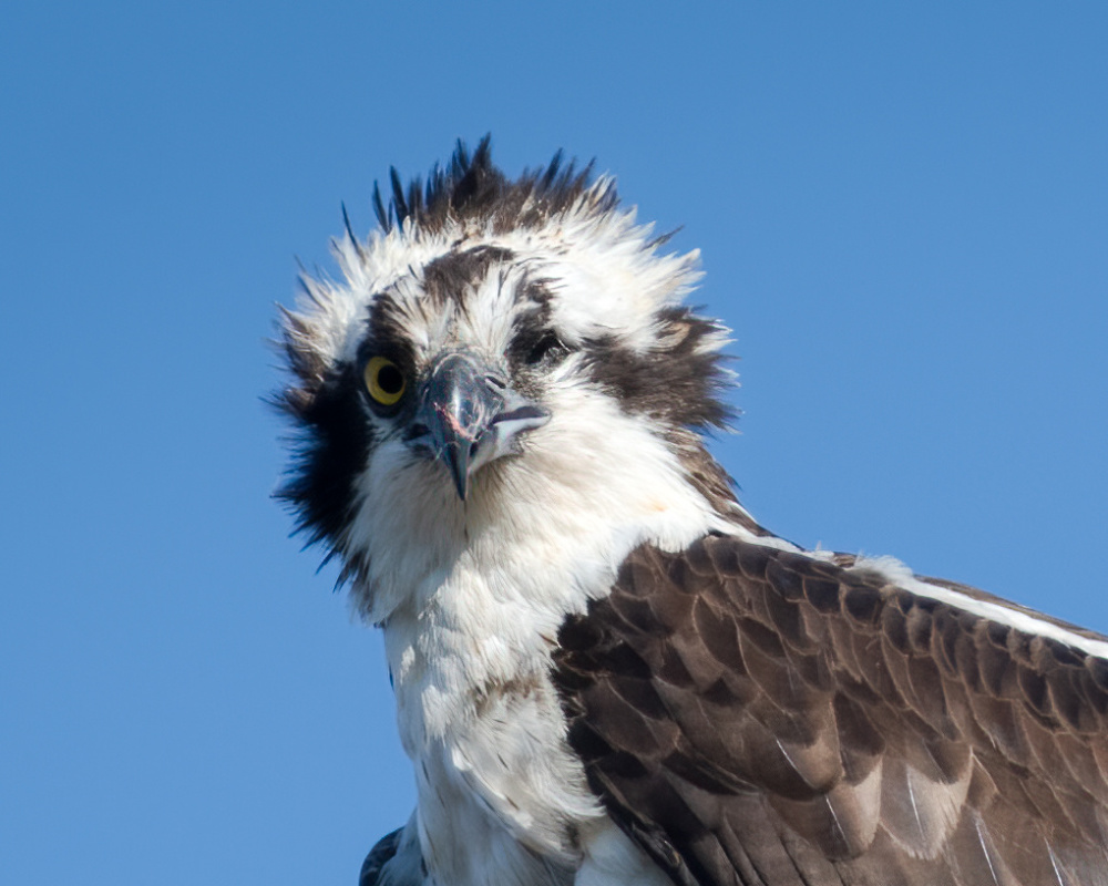 One Eyed Osprey
