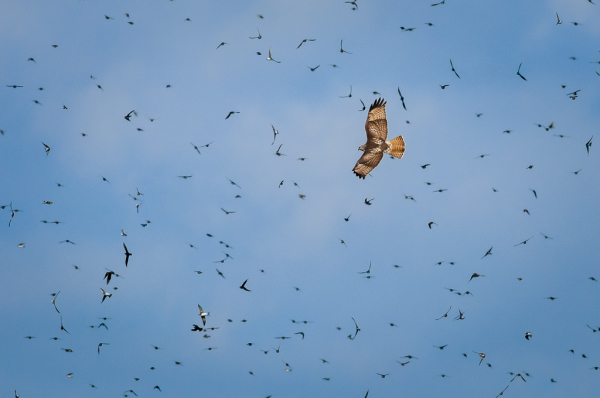 Red-tailed Hawk and Tree Swallows