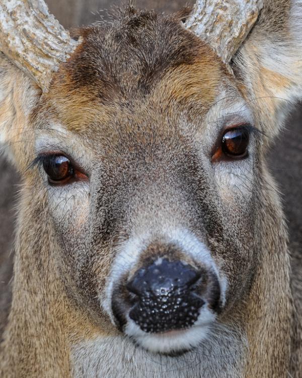 Eyes Of A Deer