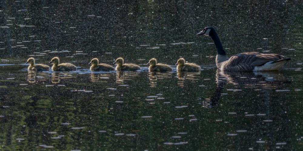 Line Of Goslings