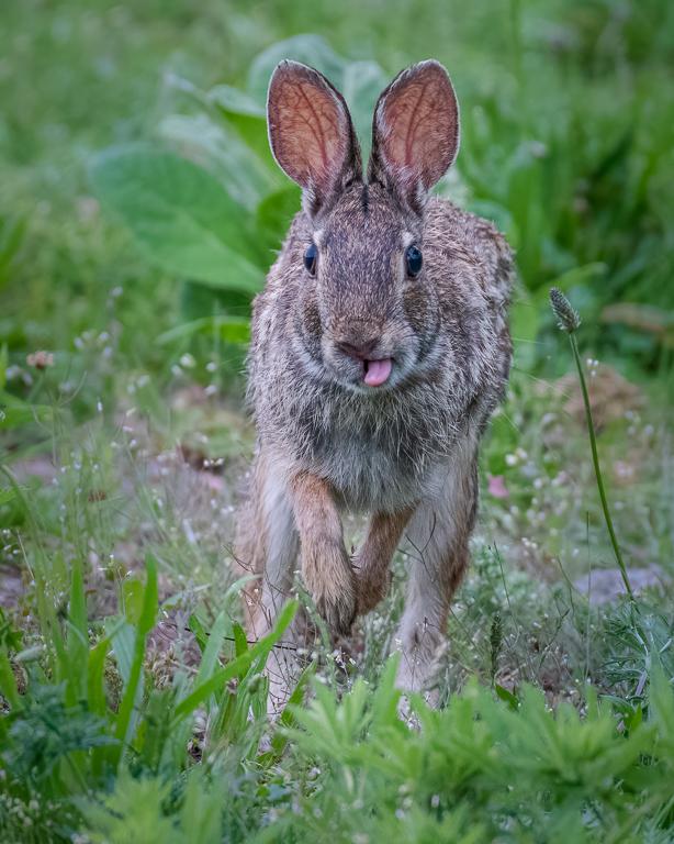 Jogging Rabbit