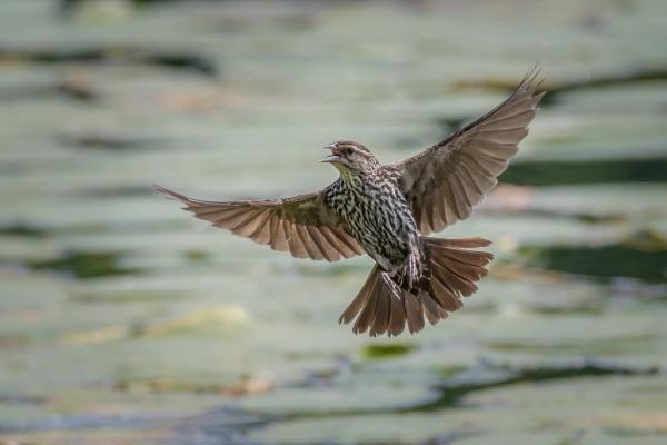 Flying Red-winged-Blackbird