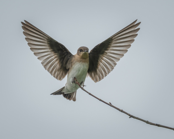 Northern Rough-winged Swallow Landing