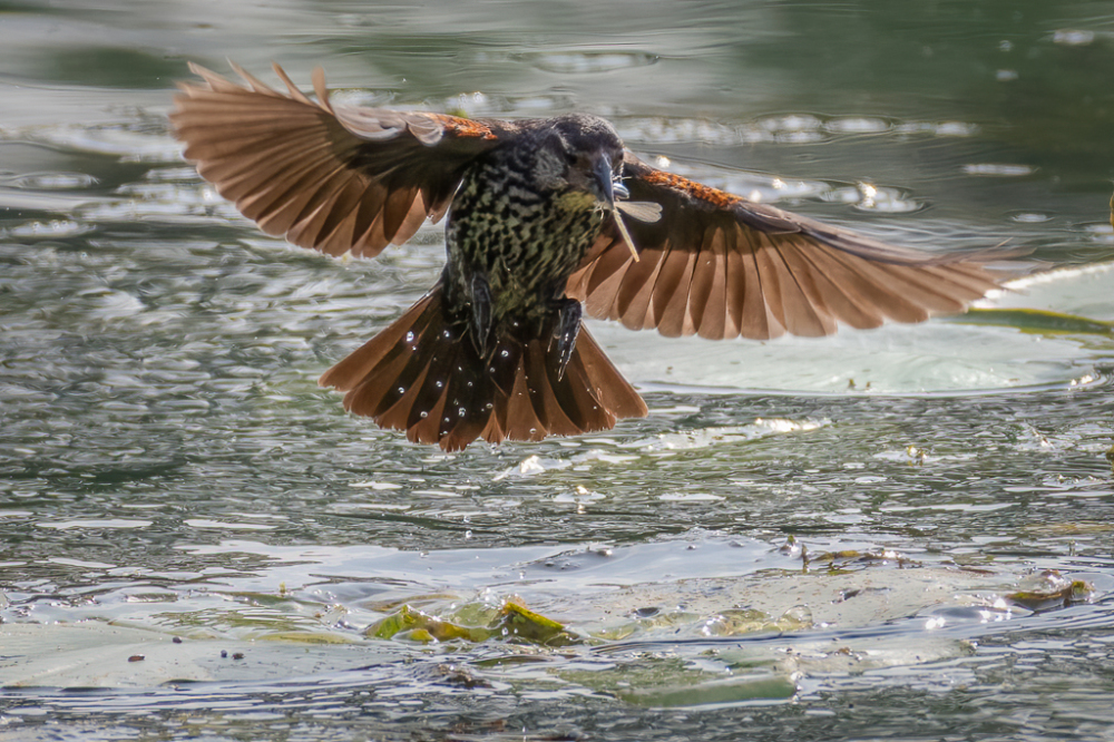 Red-winged Blackbird With Dragonfly