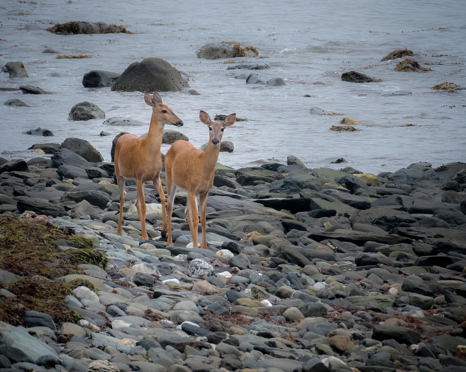White-tailed Deer On The Beach
