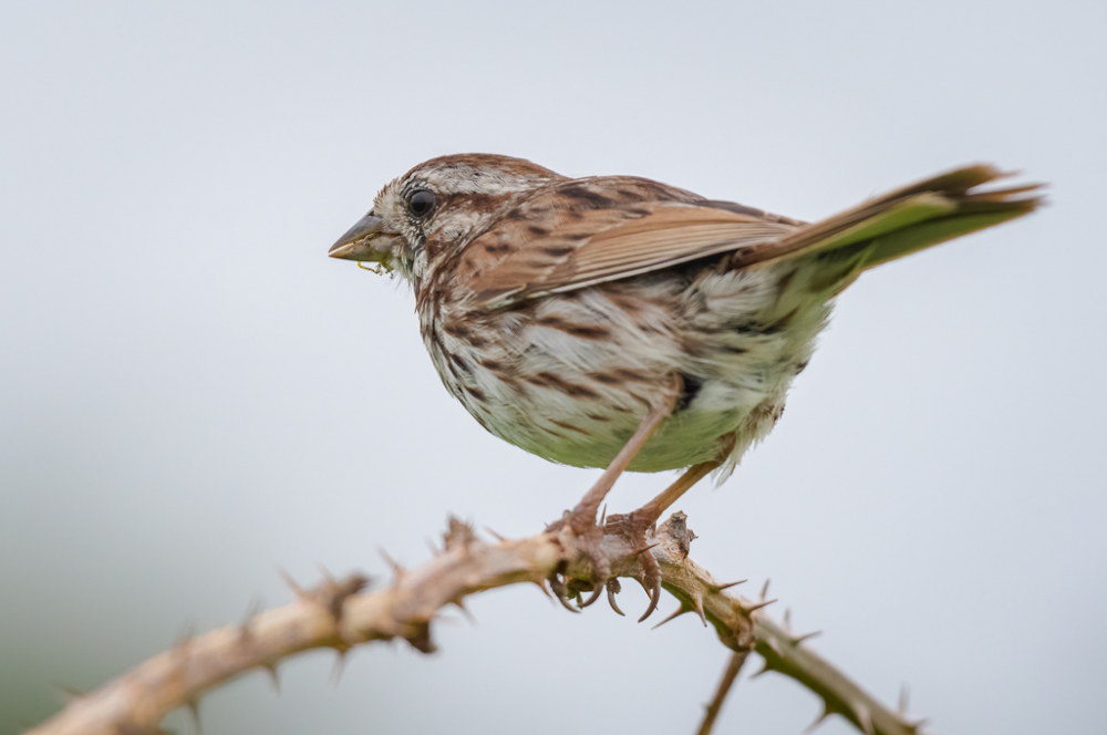 Song Sparrow Perched