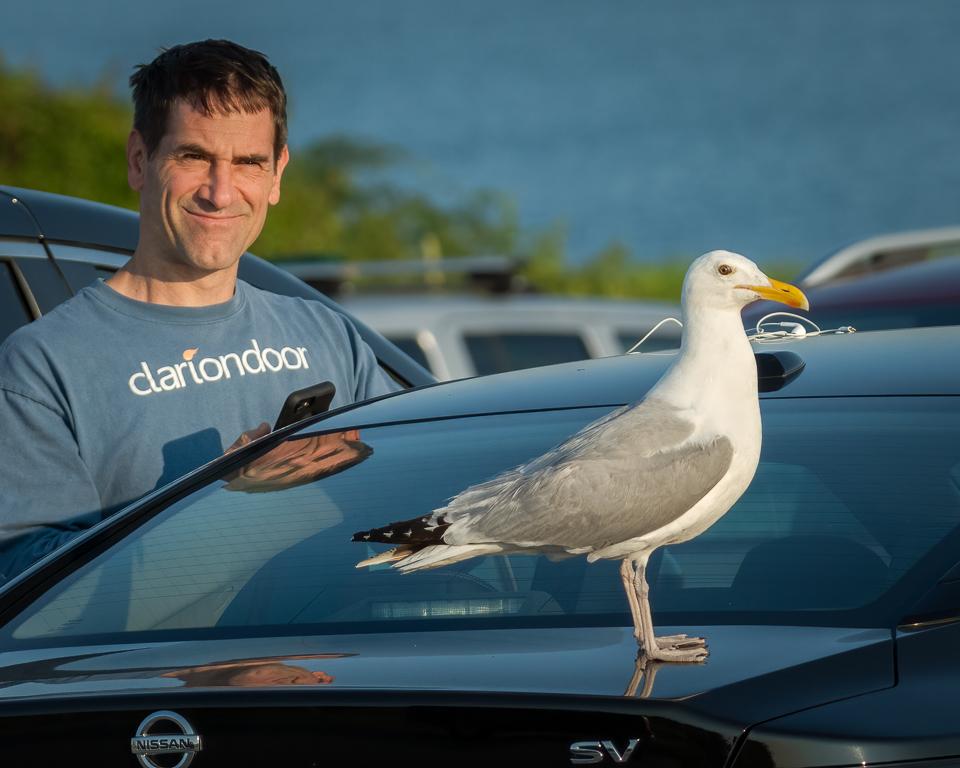 Herring Gull On Car