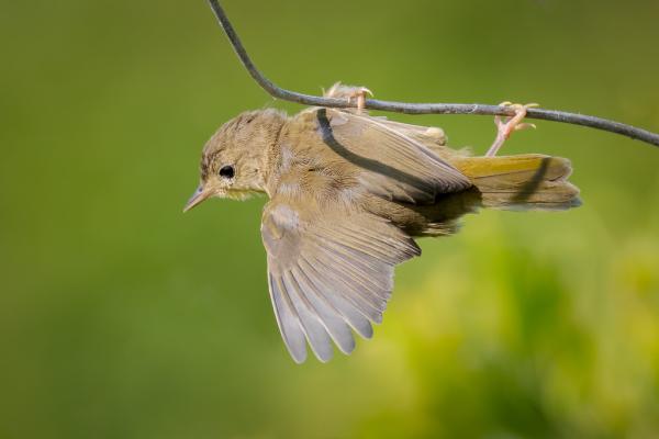 Fledgling Yellow-Warbler
