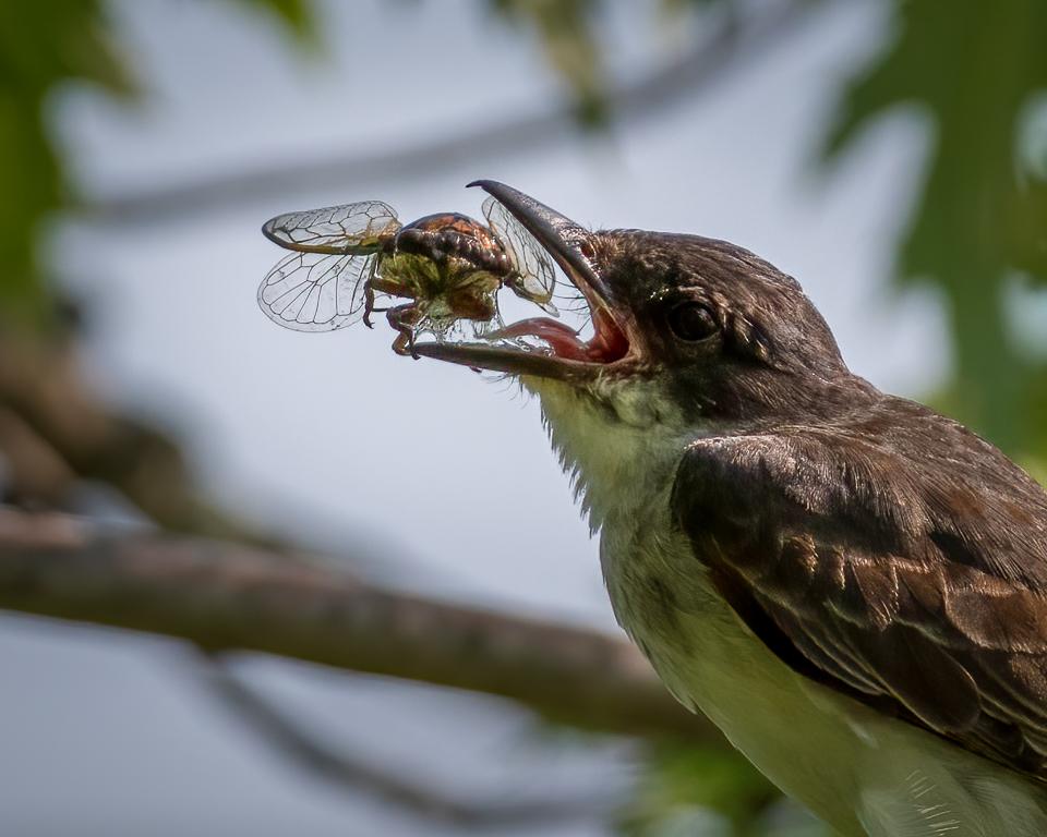 Bird Eats Cicada