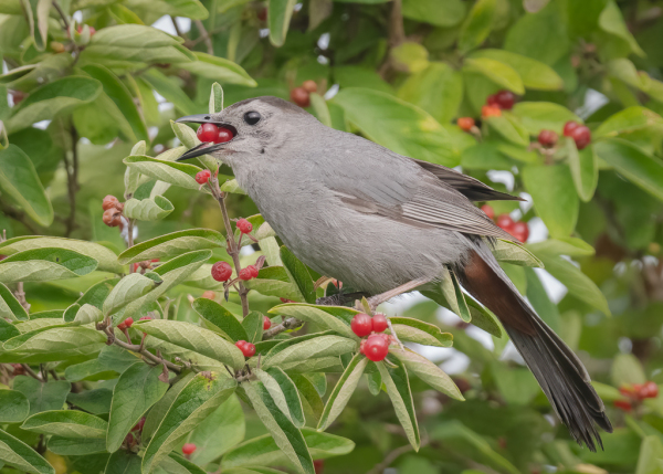 Gray Catbird Eating Berries